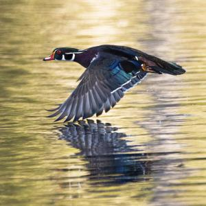 Wood duck flying just above the water with reflection